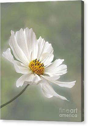 Depth Of Field Canvas Print - Cosmos Flower In White by Kaye Menner