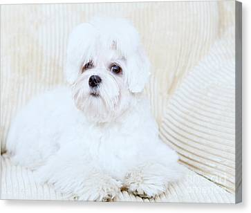 Cute Maltese Canvas Print by Monika Wisniewska
