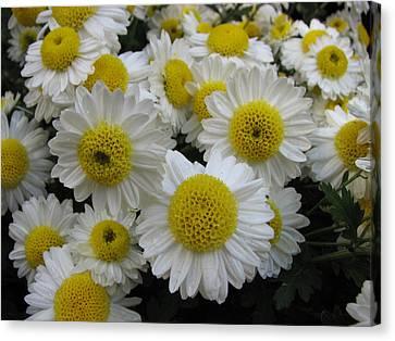 Daisy Like Flowers 1 Canvas Print