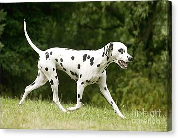 Dalmatian Dog Canvas Print by Jean-Michel Labat
