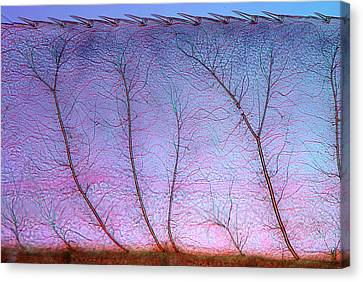 Damselfly Larva Gill Canvas Print by Marek Mis