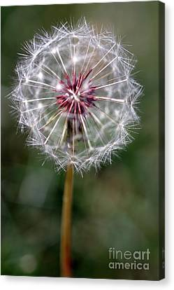 Canvas Print featuring the photograph Dandelion Seed Head by Henrik Lehnerer