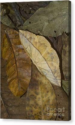 Dead Leaf Moth Canvas Print