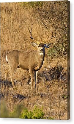 Desert Mule Deer (odocoileus Hemionus Canvas Print