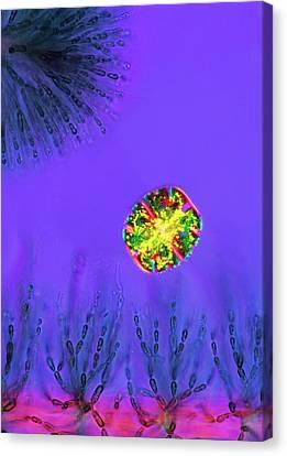 Desmid And Red Algae Canvas Print by Marek Mis