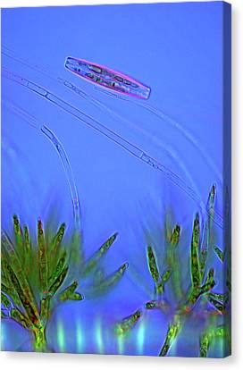 Diatom And Green Algae Canvas Print by Marek Mis