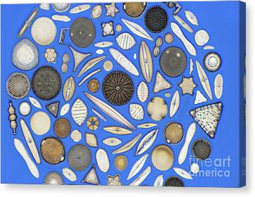 Diatoms Canvas Print by Kent Wood