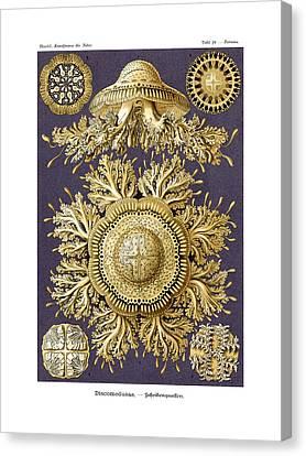 Discomedusae Canvas Print by Ernst Haeckel