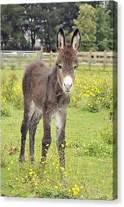 Donkey Baby Canvas Print