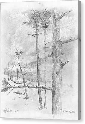 Douglas Fir Canvas Print