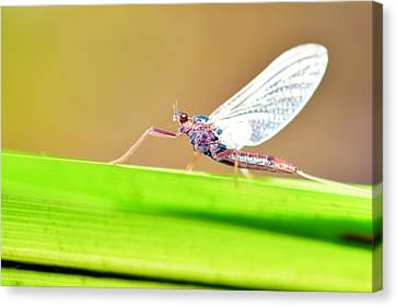 Dragonfly Eyes Canvas Print - Dragonfly by Tommytechno Sweden