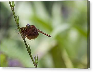 Canvas Print featuring the photograph Dragonfly by Zoe Ferrie