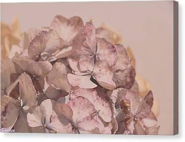 Dried Softness Canvas Print