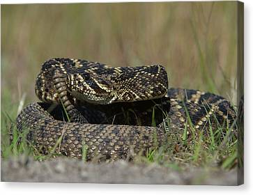 Eastern Diamondback Rattlesnake Canvas Print by Pete Oxford