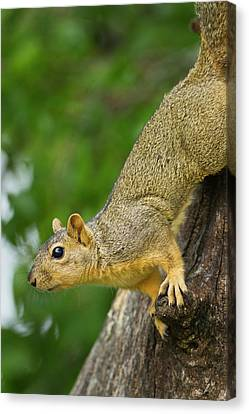 Fox Squirrel Canvas Print - Eastern Fox Squirrel (sciurus Niger by Larry Ditto