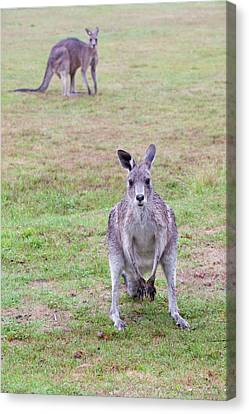 Eastern Grey Kangaroos Grazing Canvas Print by Ashley Cooper