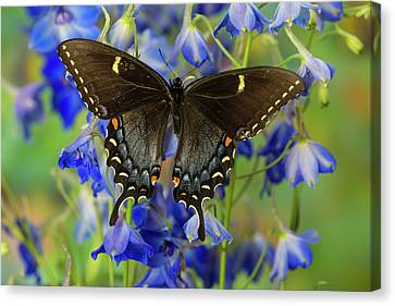 Tiger Swallowtail Canvas Print - Eastern Tiger Swallowtail, Black Form by Darrell Gulin