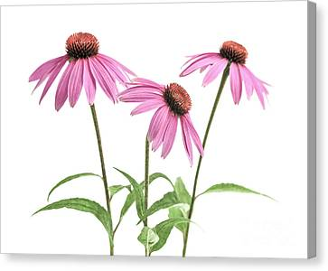 Echinacea Purpurea Flowers Canvas Print by Elena Elisseeva
