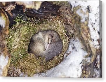 Edible Dormouse Sleeping Canvas Print by M. Watson