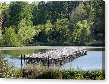 Egrets Nesting Canvas Print by Jim West