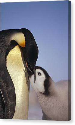 Emperor Penguin Feeding Chick Antarctica Canvas Print