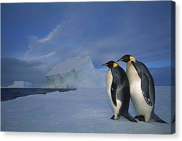Emperor Penguins At Midnight Antarctica Canvas Print