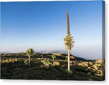 Ethiopian Giant Lobelia (lobelia Canvas Print by Martin Zwick