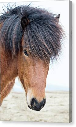 Forelock Canvas Print - Europe, North Iceland, Near Akureyri by Ellen Goff