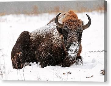 European Bison In Snow Canvas Print by Bildagentur-online/mcphoto-schulz