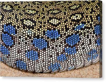 European Eyed Lizard Skin Canvas Print by Nigel Downer