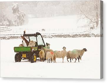 Farmer Feeding Sheep In Winter Canvas Print