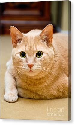 Whisker Canvas Print - Feline Portrait by Amy Cicconi