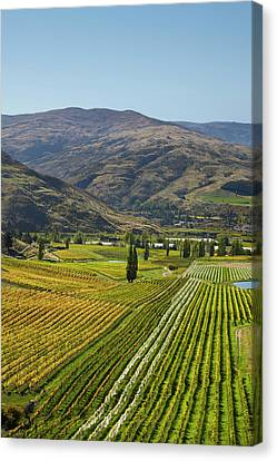 Grapevines Canvas Print - Felton Road Vineyard In Autumn by David Wall