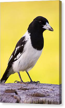 Fencepost Magpie Canvas Print by Jorgo Photography - Wall Art Gallery