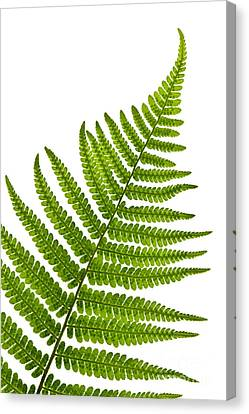 Complex Canvas Print - Fern Leaf by Elena Elisseeva