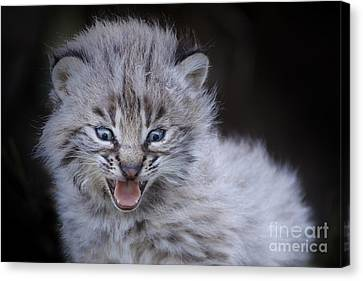 Baby Bobcat Canvas Print - Fierce Little Bobcat by Sharon Ely