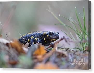 Fire Salamander - Salamandra Salamandra Canvas Print by Jivko Nakev