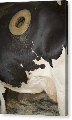 Fistula In Cow Canvas Print by Science Stock Photography