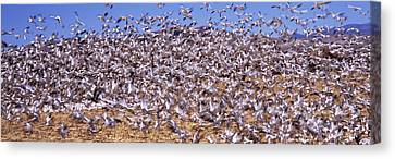 Flock Of Geese Canvas Print - Flock Of Snow Geese Flying, Bosque Del by Panoramic Images