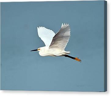 Florida, Venice, Snowy Egret Flying Canvas Print by Bernard Friel