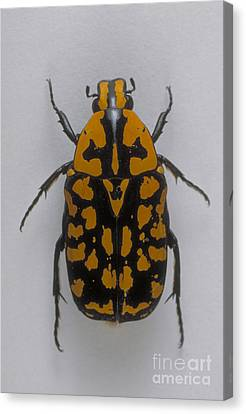 Flower Beetle Canvas Print by Barbara Strnadova