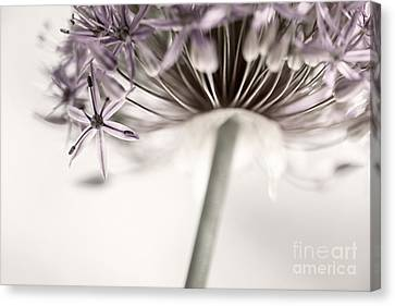 Alliums Canvas Print - Flowering Onion Flower by Elena Elisseeva