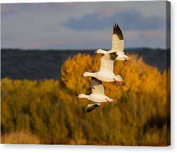 Geese Canvas Print - Flying Snow Geese by Jean Noren