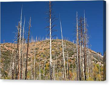 Forest Destroyed By Wild Fires Canvas Print
