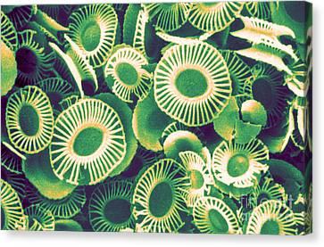 Fossilized Coccoliths, Emiliania Canvas Print by Biophoto Associates