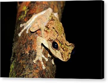 Frilled Tree Frog, Malaysia Canvas Print by Fletcher & Baylis