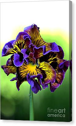 Frilly Pansy Canvas Print