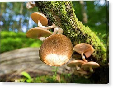 Fungi On An Oak Tree Canvas Print