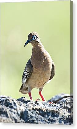 Galapagos Dove Canvas Print by William H. Mullins