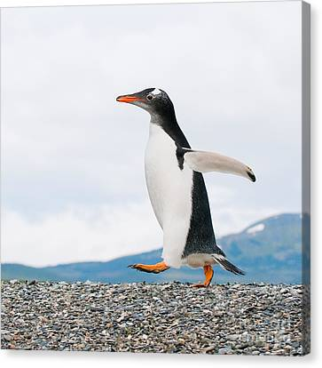 Gentoo Penguin Canvas Print by Konstantin Kalishko